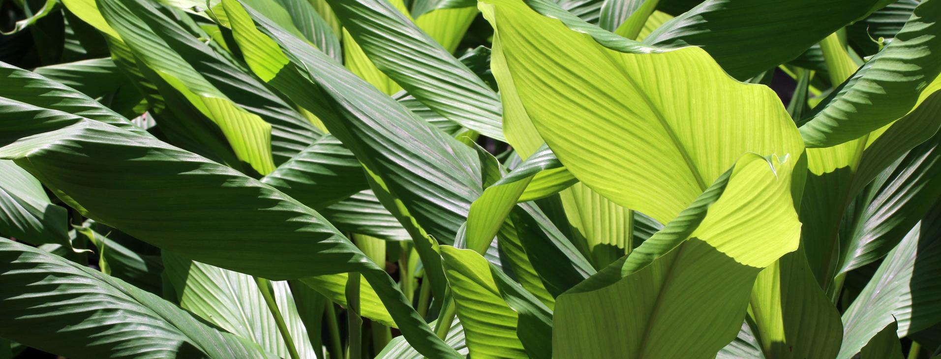 nutraceutical turmeric plant